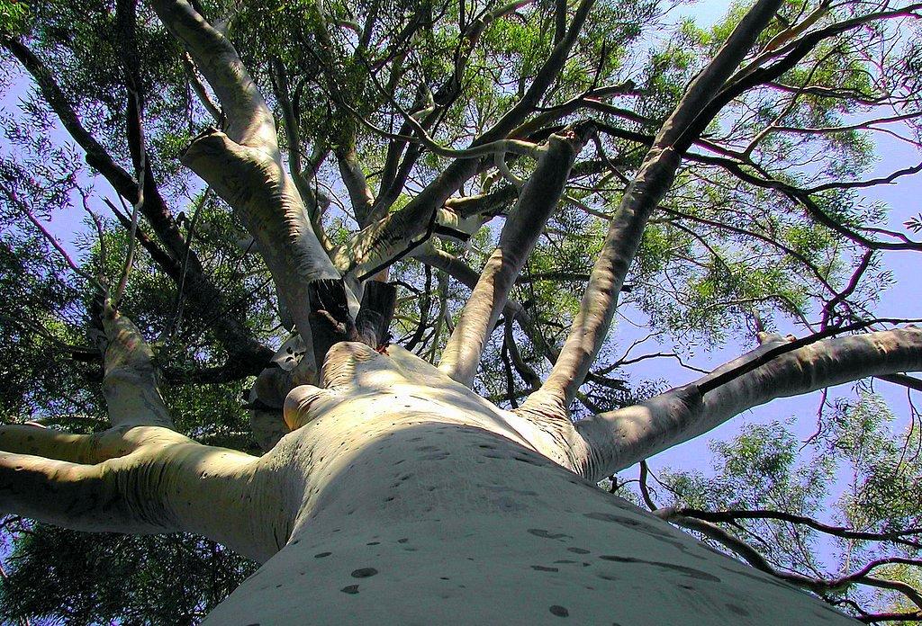 villa-silva-flora-_-white-eucalyptus-tree