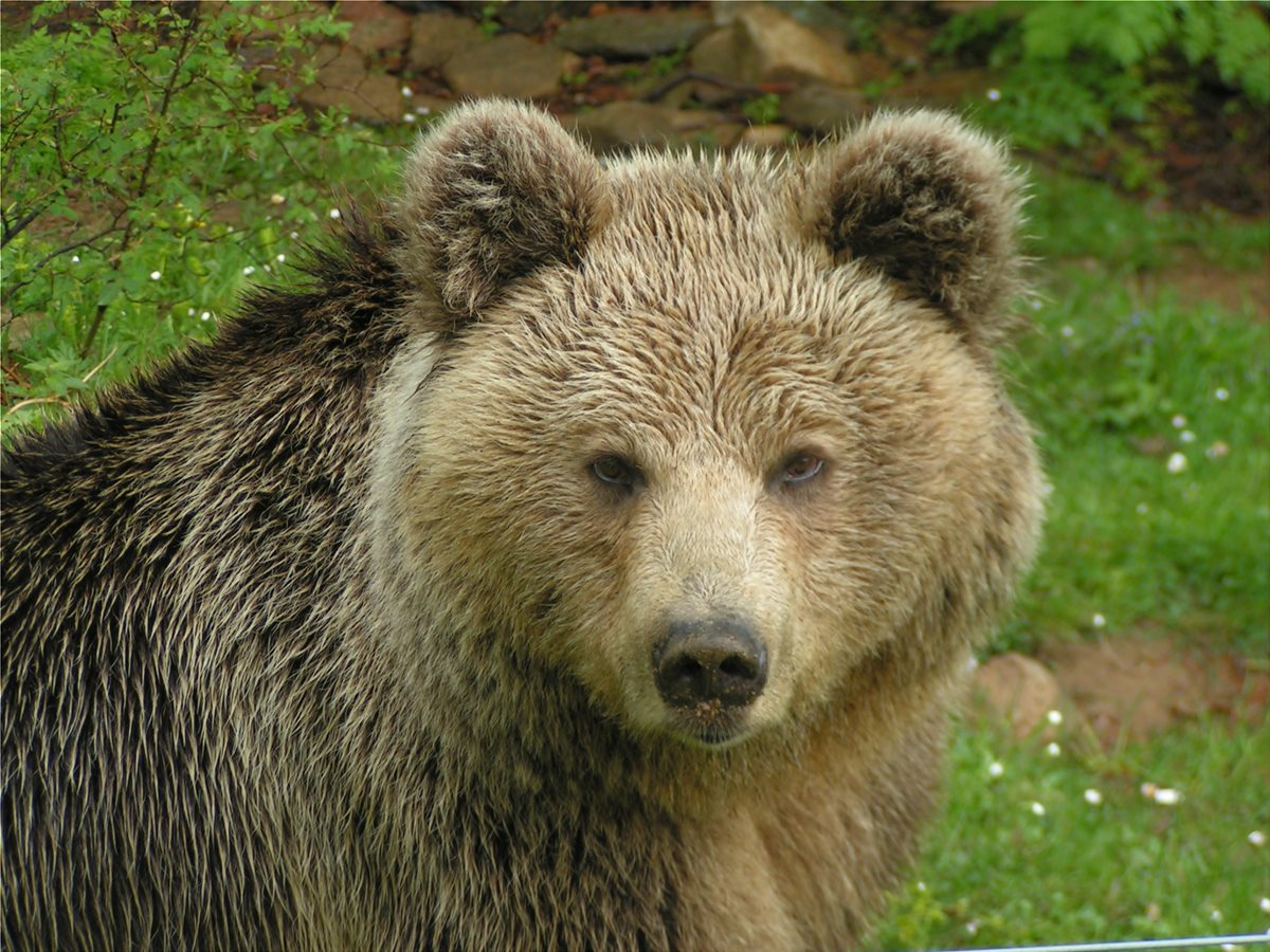 World Record Grizzly Bear Hunts: The Biggest And Baddest Bears