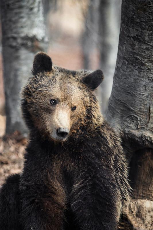 A bear at the shelter Arcturos in Nymfaio near Florina in Greece